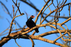 Common hill myna Stock Photography