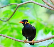 Common Hill Myna. In Thailand Royalty Free Stock Photos