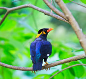 Common Hill Myna Stock Photos