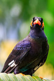 Common Hill Mynah Stock Image