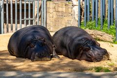 Common hippopotamus Hippopotamus amphibius in Barcelona Zoo.  stock photos