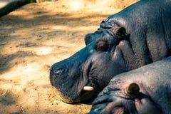 Common hippopotamus Hippopotamus amphibius in Barcelona Zoo.  royalty free stock photography