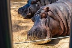 Common hippopotamus Hippopotamus amphibius in Barcelona Zoo.  stock photo
