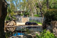 Common hippopotamus Hippopotamus amphibius in Barcelona Zoo.  stock photography