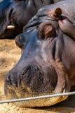 Common hippopotamus Hippopotamus amphibius in Barcelona Zoo.  stock image