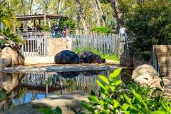 Common hippopotamus Hippopotamus amphibius in Barcelona Zoo.  royalty free stock image