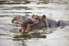 Common Hippopotamus Calf Stock Photography