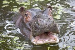 Common Hippopotamus Calf Royalty Free Stock Photo