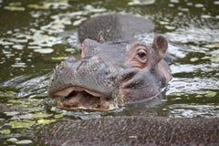 Common Hippopotamus Calf Stock Photo