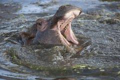 Common Hippopotamus calf Stock Images
