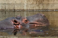 Common hippopotamus Stock Image