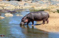 A Hippopotamus entering a river. The common hippopotamus, or hippo, is a large, mostly herbivorous, semiaquatic mammal native to sub-Saharan Africa, and one of Stock Photography