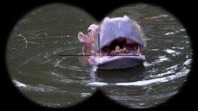 Common Hippopotamus Hippopotamus Amphibius Seen through Binoculars. Watching Animals at Wildlife Safari. Shot with a Sony a6300 fps 29,97 4k stock video footage