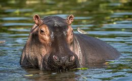 Common hippopotamus in the water. Stock Images
