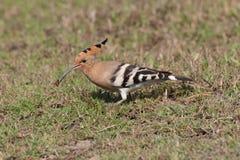 Common hoepoe bird (Upupa epops) eating. Red worm , stock image Stock Photography