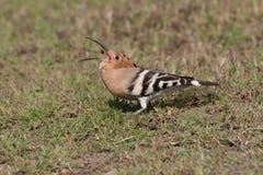 Common hoepoe bird (Upupa epops) eating. Red worm, stock image Royalty Free Stock Image