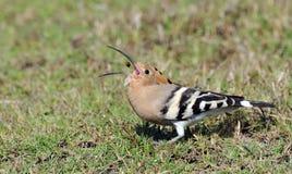 Common hoepoe bird (Upupa epops) eating. Worm, India Stock Image