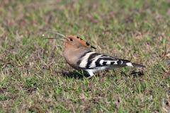 Common hoepoe bird (Upupa epops) eating. Worm, stock image Stock Photography
