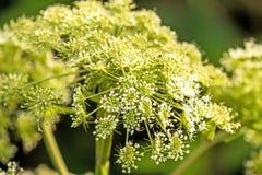 Common hog-weed, flower Stock Image