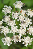 Common hogweed Stock Photos