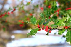 Common holly berries Royalty Free Stock Photos