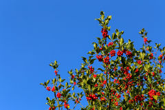 Common holly bush with bright red berries and prickly leaves Stock Photography