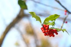 Common holly red berries Royalty Free Stock Images