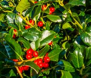 Common holly during spring with ripe red berries, nature background. Common holly during spring with ripe red berries, a nature background royalty free stock image