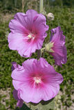 Common hollyhock Royalty Free Stock Image