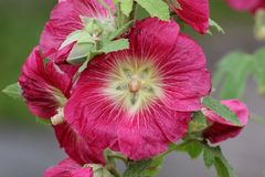Common Hollyhock Royalty Free Stock Photography