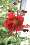 Common Hollyhock flower alcea rosea. Description: Common hollyhock flower alcea rosea. Flower has thin red petals with slightly ragged edges and a yellow center stock image