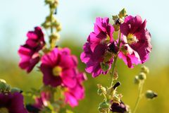Common hollyhock flowers Alcea rosea in a garden royalty free stock photography