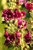 Common hollyhock flowers Alcea rosea in a garden stock photos