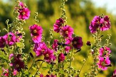 Common hollyhock flowers Alcea rosea in a garden royalty free stock photo