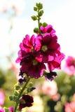 Common hollyhock flowers Alcea rosea in a garden royalty free stock image