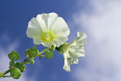 Common Hollyhock Stock Image