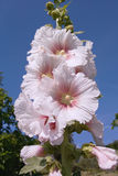 Common hollyhock at white flowers Stock Photo