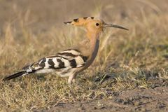 Common Hoopoe Stock Photo