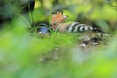 Common hoopoe Royalty Free Stock Photos