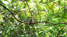 Common Hoopoe bird on tree stock video footage