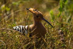Common Hoopoe, long bill Stock Photos