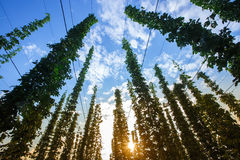 Common hop against blue sky, lit by sunlight Royalty Free Stock Photo