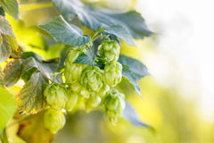 Common hop cones, ripe for picking. And used as raw material for beer production (Humulus lupulus). Organic, clean agricultural industry, beer production, raw Royalty Free Stock Photo