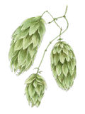 Common hop Humulus lupulus cones botanical drawing Stock Photography