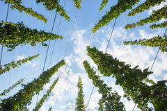 Common hop (Humulus lupulus)  ripe for picking Royalty Free Stock Photo