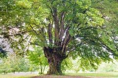Common hornbeam Carpinus betulus. Old common hornbeam Carpinus betulus tree Royalty Free Stock Image