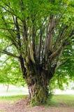 Common hornbeam Carpinus betulus. Trunk of an old common hornbeam Carpinus betulus tree Stock Photo