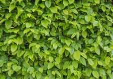 Common hornbeam. Is often cultivated as an ornamental tree, for planting in gardens and parks Royalty Free Stock Photos