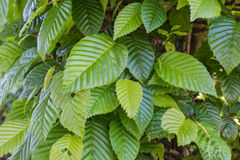 Common hornbeam. Is often cultivated as an ornamental tree, for planting in gardens and parks Stock Photo