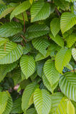 Common hornbeam. Is often cultivated as an ornamental tree, for planting in gardens and parks Stock Photos